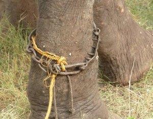 elefante-lloro-al-ser-liberado